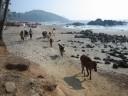 vagator-beach-cows